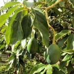 アボカドの育て方 水耕栽培の場合。発芽はどれくらい?植え替えってしていいの?