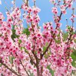 桃の花はいつが見ごろ!? 一番いい季節をおしえて!