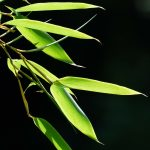 七夕に使うのは笹と竹どっち? 笹と竹の違いは?